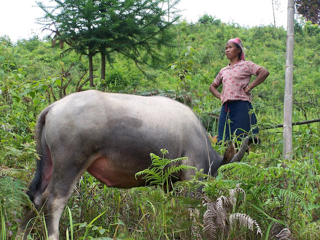 Lahu nationality woman grazing her water buffalo
