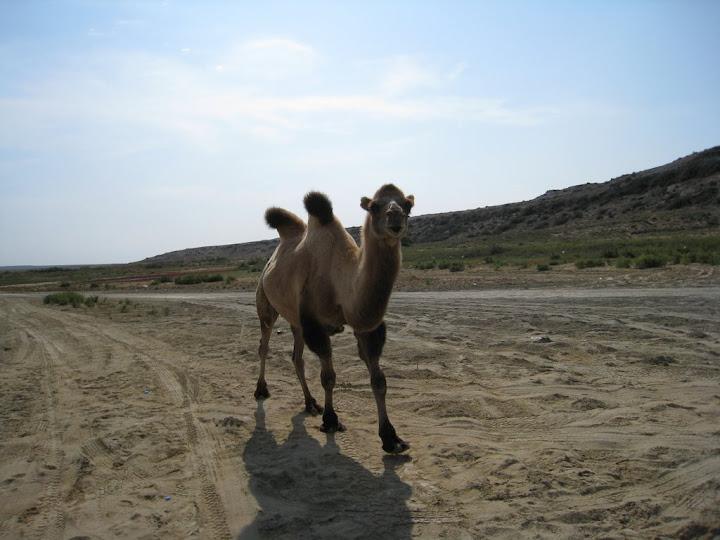 Верблюд на подходе