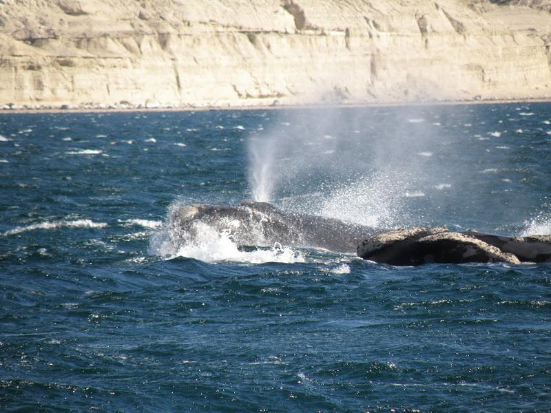 los piojos de las ballenas