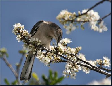Animals_Birds_Mockinbird_on_tree_005471_