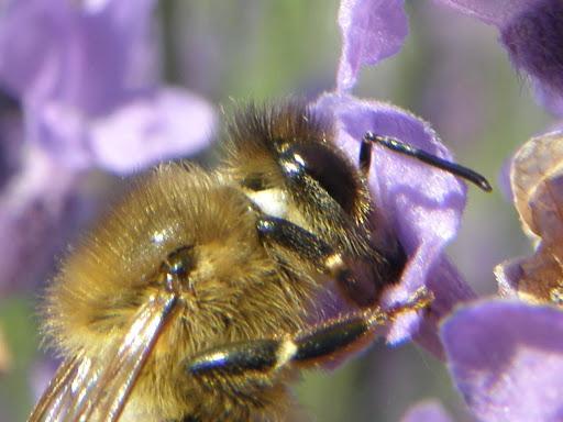 photos, levendula, darázs, virágok, wallpapers, háttérképek, képek,  fotók, Lavandula angustifolia,  virág, kék, bloom, blue, budapest, blog, makró