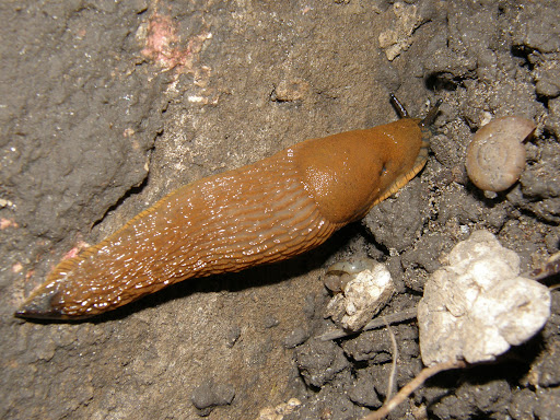 Slugs, with no external shell, csórécsiga, csupaszcsiga, pucércsiga, meztelen csiga, házatlan csiga, Budapest blog, photostock, stock images, photos for sale, eladó képek, fotók, fényképek