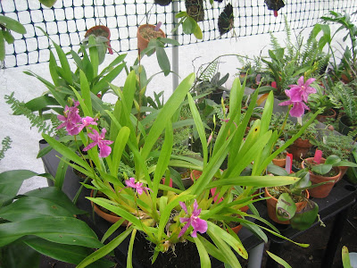 White Shade Cloth Orchids