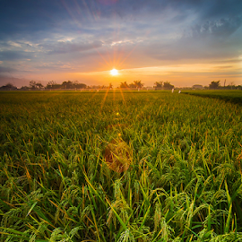 paddies in the morning by Budi Astawa - Landscapes Prairies, Meadows & Fields ( tegalbadeng, paddies, ricefield )