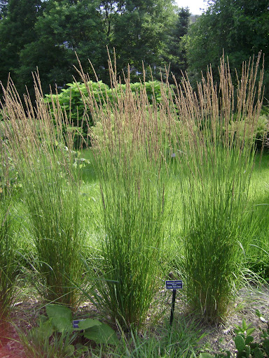 The living world is green ornamental grasses are cooler for Tall ornamental grasses for screening
