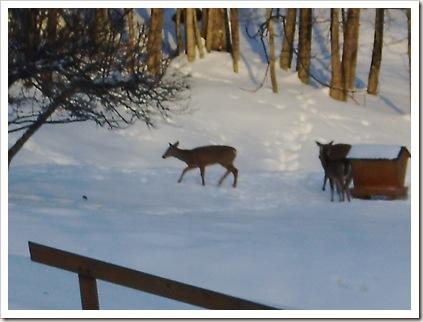 2.13.11 deer 005