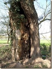 Holle boom bij een  bron