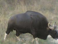 Kanha Bison2.jpg