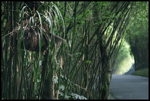 las bambusowy. pandy