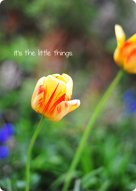 tulip little thingsweb
