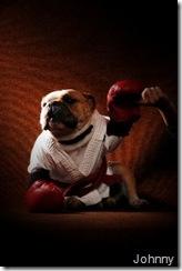 Original: Johnny teve a idéia de clicar seu próprio Bulldog (o Hugo) com o kimono de sua filha e suas luvas de boxeador.  A foto ficou tão boa que mais tarde foi vendida para uma campanha da vacina anti-rábica.
