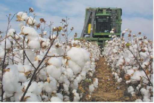 Spot rate remains firm at cotton market