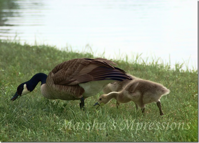 goose and goslings edited with blue bayou sat 60 w watermark