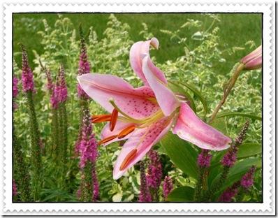 lilies 005 (640x486)