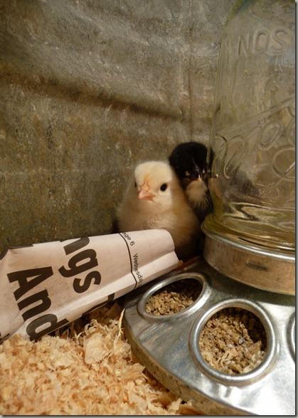 v @chicks 016 (600x800)