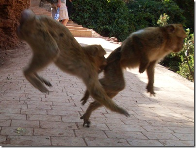 scimmie alle cascate di Ouzoud