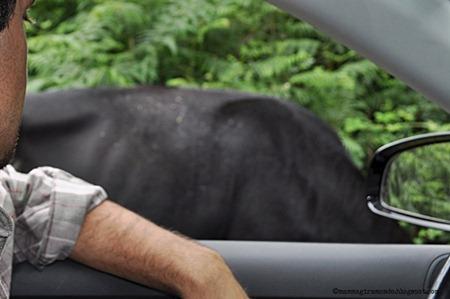 Mucche e tori lungo la New ForestDSC_0922