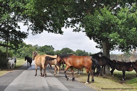 cavalli selvaggi attraversano la stradaDSC_0880