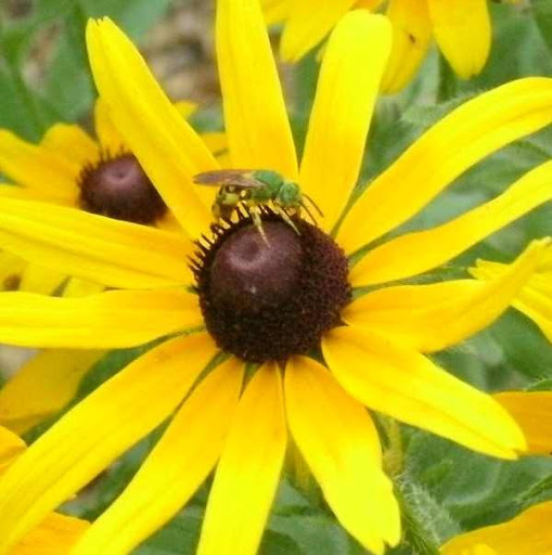 bee on a blackeyed susan