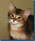 Somali Cat