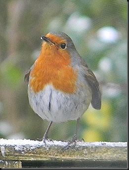 Robin 001