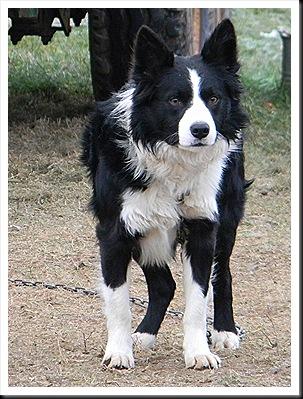 Farm dog 001