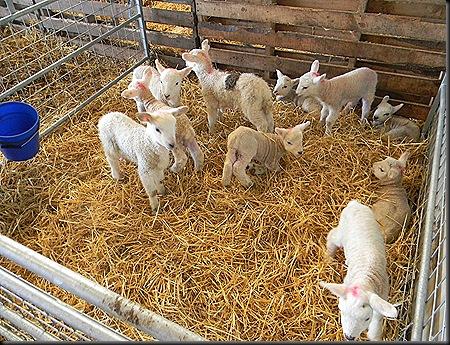 lambs 018
