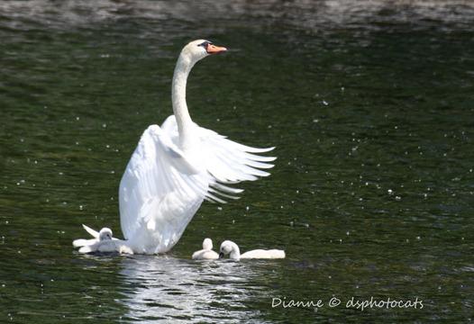 IMG_4174 Swans in Posing