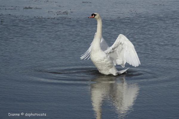 IMG_7840 Lone Swan