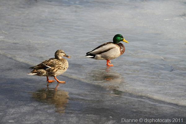 IMG_2174_Ducks