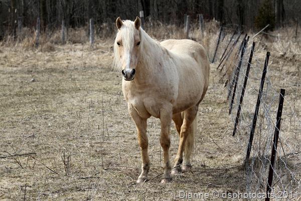 IMG_2378 Palomino Stallion