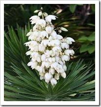 Yucca –aloifolia