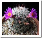 Mammillariadeherdtiana
