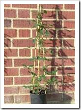 زراعة نبات الجهنمية(المجنونة Bougainvillea 1_thumb[2].jpg?imgmax=800