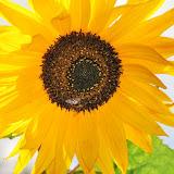 Sonnenblume-mit-Biene-a19143205.jpg