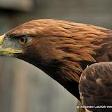 Adler.jpg