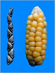 Maize Origin Of Maize | RM.