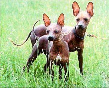 Xoloitzcuintli Training Aztec dog breed recogn...