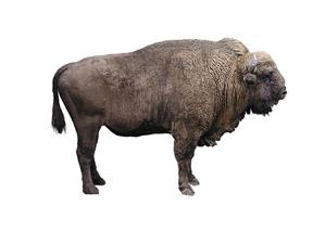 A Bison!