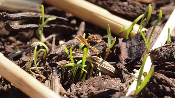 carrot seed germination