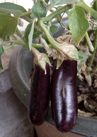 my one hansel eggplant bush