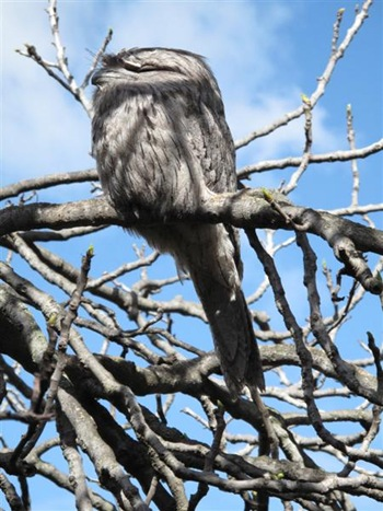 frogmouth2