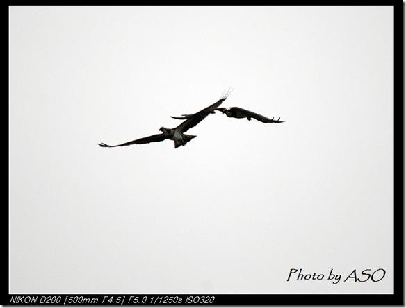 ASO_0156魚鷹