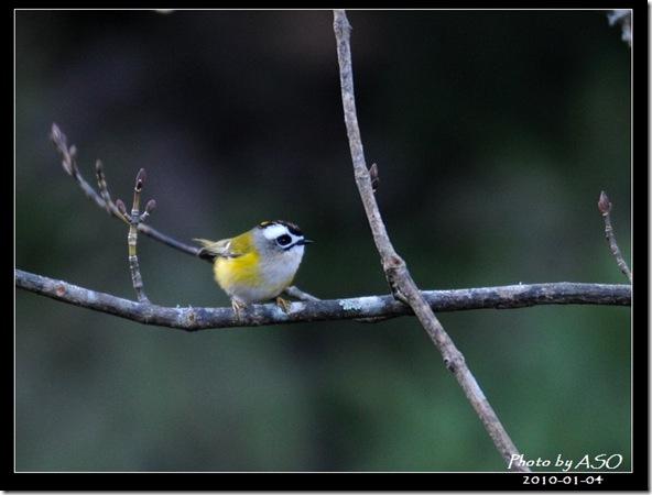 火冠戴菊鳥(2010-01-04阿里山)8951