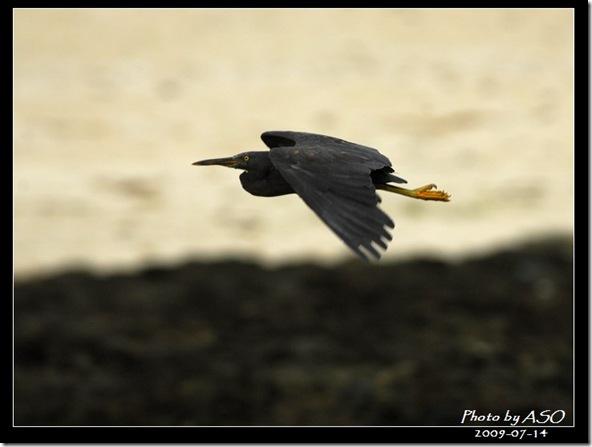 岩鷺(2009-07-15綠島)1401