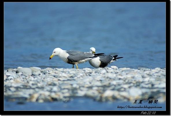黑尾鷗(2010-02-22花蓮溪口)6465
