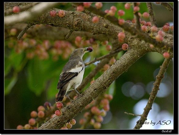 灰背椋鳥(2008-10-17社頂公園)9105