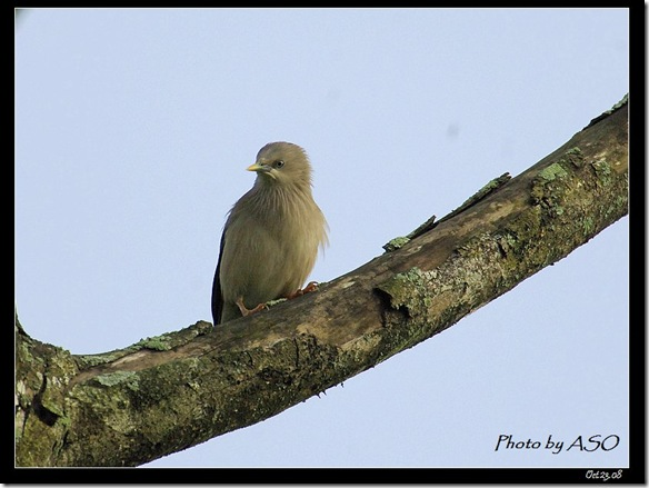 灰頭椋鳥(2008-10-23穎達農場)1218