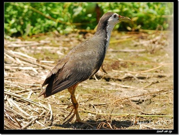 白腹秧雞(2008-06-29利澤)0090