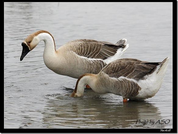 家鵝(20008-11-16宜蘭塭底)2233
